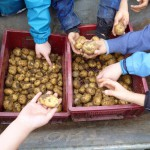 Kartoffelernte-auf-dem-Schultenhof